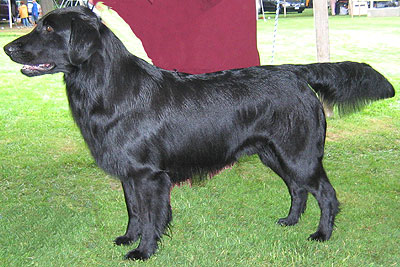 black flat coated retriever dog