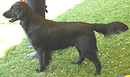 adult black flat coated retriever