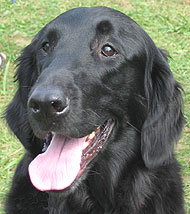 flat coated retriever dog
