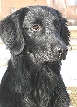 photo of a flat-coated retriever dog