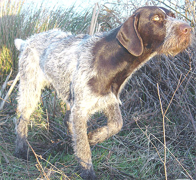 german wire-haired pointer dog