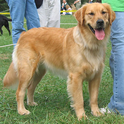 golden retriever mixed with lab. golden retriever dog