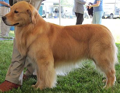 Golden Retriever Dog Sporting Dog Breeds Online Dog Encyclopedia