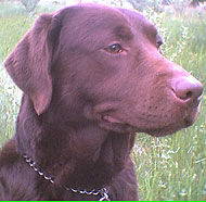 photo of a chocolate labrador retriever dog