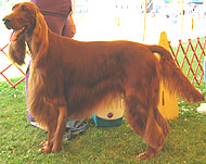 photo of an irish setter dog
