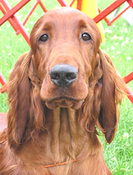 photo or an irish setter dog