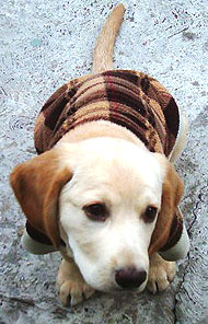 photo of a yellow labrador retriever puppy