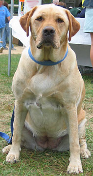 what a labrador retriever dog looks like