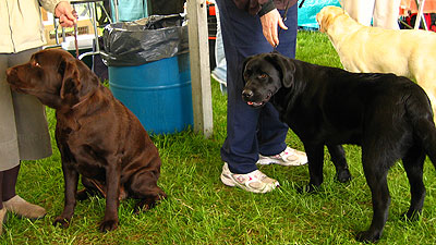brown, black and yellow labrador retrievers