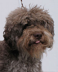Lagotto Romagnolo dog