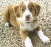 Nova Scotia Duck-Tolling Retriever puppy