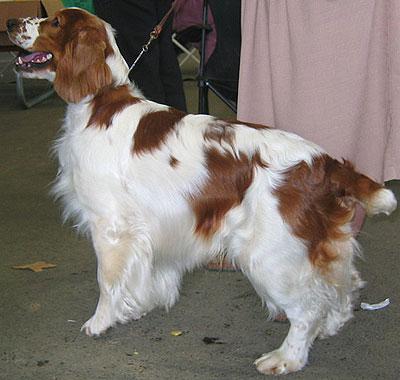 Welsh Springer Spaniel Dog