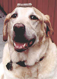 photo of a yellow labrador retriever dog