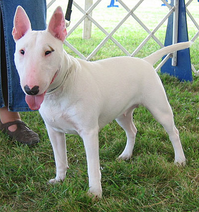 Breeds on Bull Terrier Dog   Online Dog Encyclopedia   Dogs In Depth Com