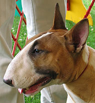 photo of bull terrier dog