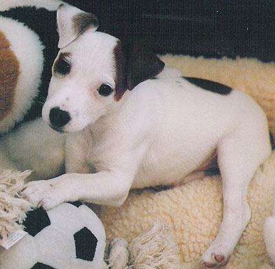 Are Jack Russells Good Family Dogs