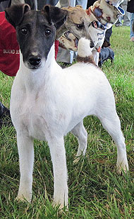 photo of smooth fox terrier dog