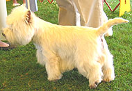 photo of an adult west highland white terrier dog