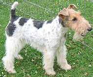photo of  wirehaired fox terrier dog