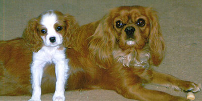 what cavalier king charles spaniels look like