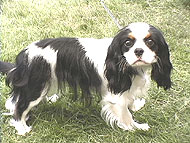 photo of a cavalier king charles dog