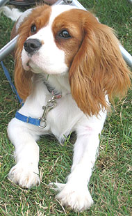 photo of a cavalier king charles spaniel dog