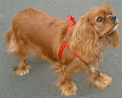 Ruby coat colored cavalier king charles spaniel