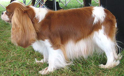 Blenheim Coat-colored Cavalier King Charles Spaniel