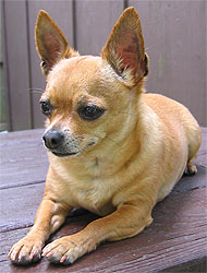 adult chihuahua dog