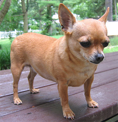 Puppies Breeds on Chihuahua Dog   Toy Dog Breeds   Online Dog Encyclopedia   Dogs In