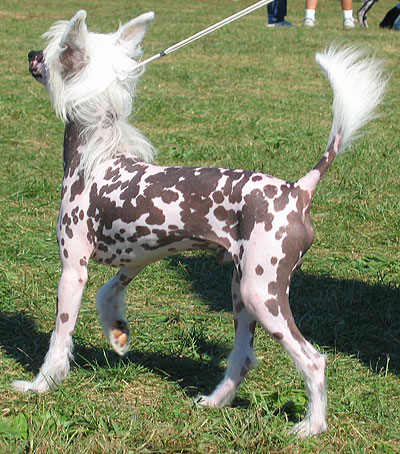 chinese crested powderpuff dog