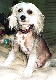chinese crested dog  hairy hairless