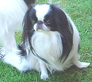 photo of a japanese chin dog
