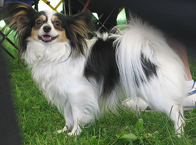 www.dogsindepth.com/toy_dog_breeds/images/papillon_h03.jpg