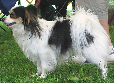 papillon dog - toy dog breeds - online dog encyclopedia - dogs in ...
