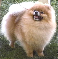 photo of a pomeranian dog
