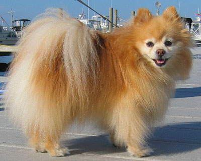 Pomeranian Dog picture
