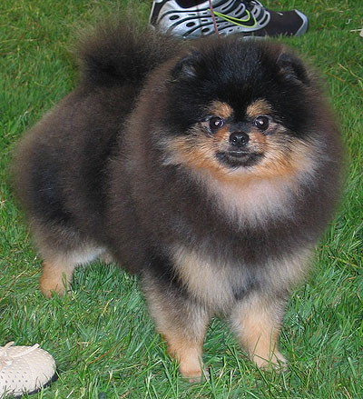 Puppies on Pomeranian Dog   Toy Dog Breeds   Online Dog Encyclopedia   Dogs In