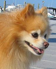Pomeranian Dog Toy Dog Breeds Online Dog Encyclopedia Dogs In