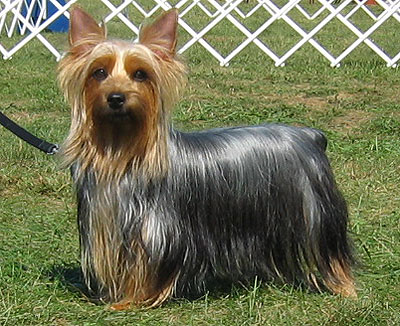 silky terrier dog - toy dog breeds - online dog encyclo