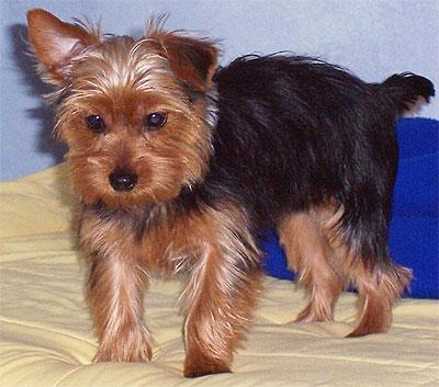 yorkshire terrier dog - toy dog breeds - online dog ...