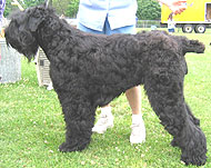 photo of a black russian terrier dog