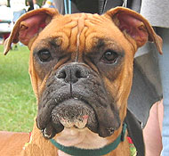 Boxer Dog Working Dog Breeds From The Online Dog