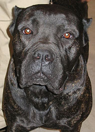 Cane Corso Dog Working Dog Breeds From The Online Dog