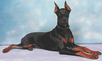 photo of a doberman pinscher