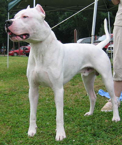 on Dogo Argentino Dog   Working Dog Breeds From The Online Dog