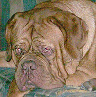 dogue de bordeaux dog