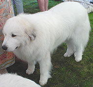 great pyrenees dog