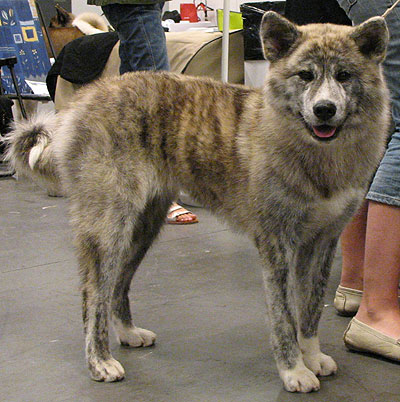 japanese akita dog - working dog breeds from the online dog ...