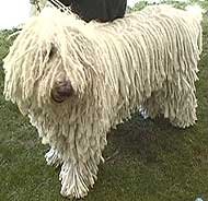 photo of a komondor dog